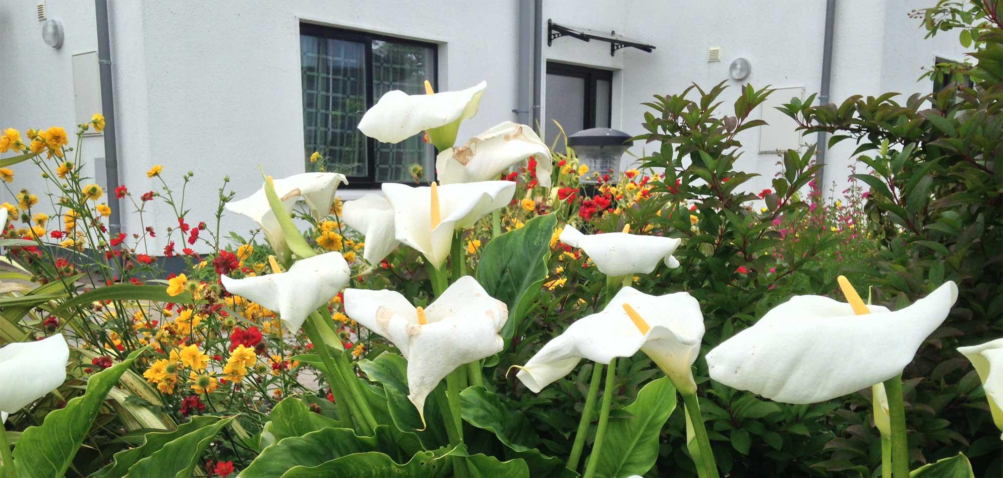 Lilys-in-the-garden