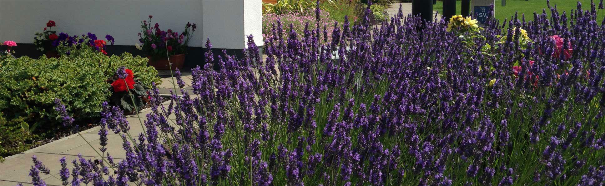 Lavender at Ballymote Community Housing Unit